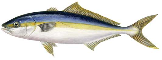 EM1 18 News Int Yellowtail